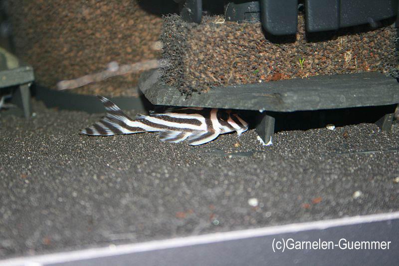 schwarzer Aquariensand Zebra Wels